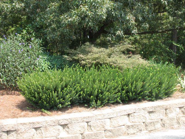 Cephalotaxus for Duke gardens plum yew
